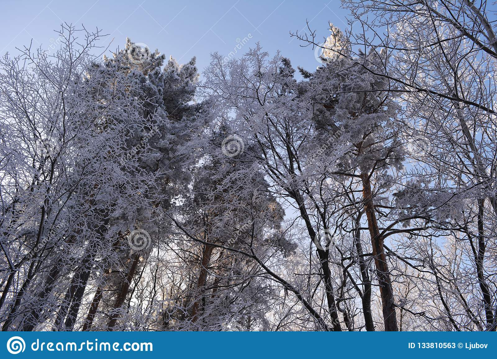 Winter mixed forest covered by snow hoarfrost. Wintry landscape
