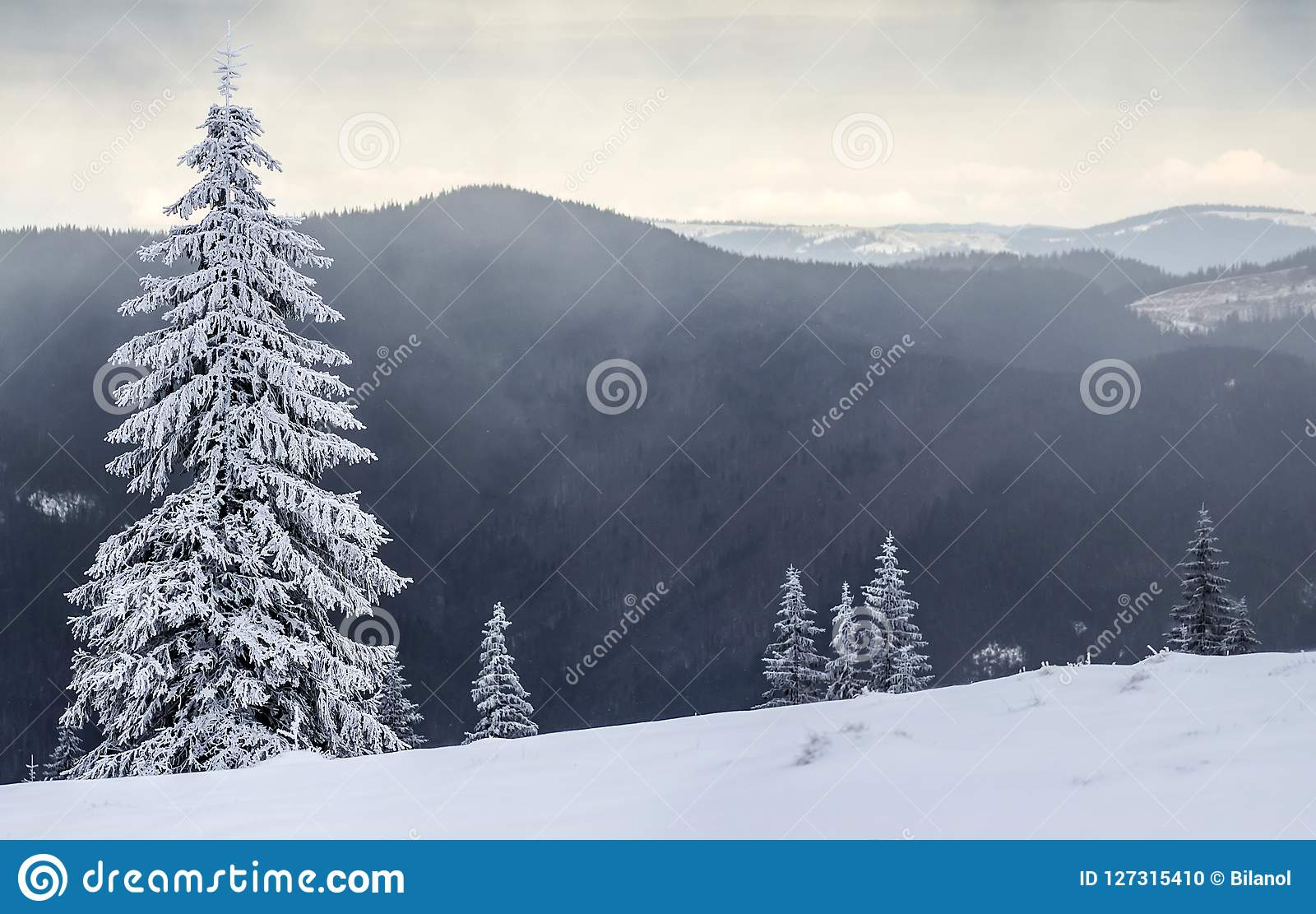 Winter mountain landscape with snow covered pine trees