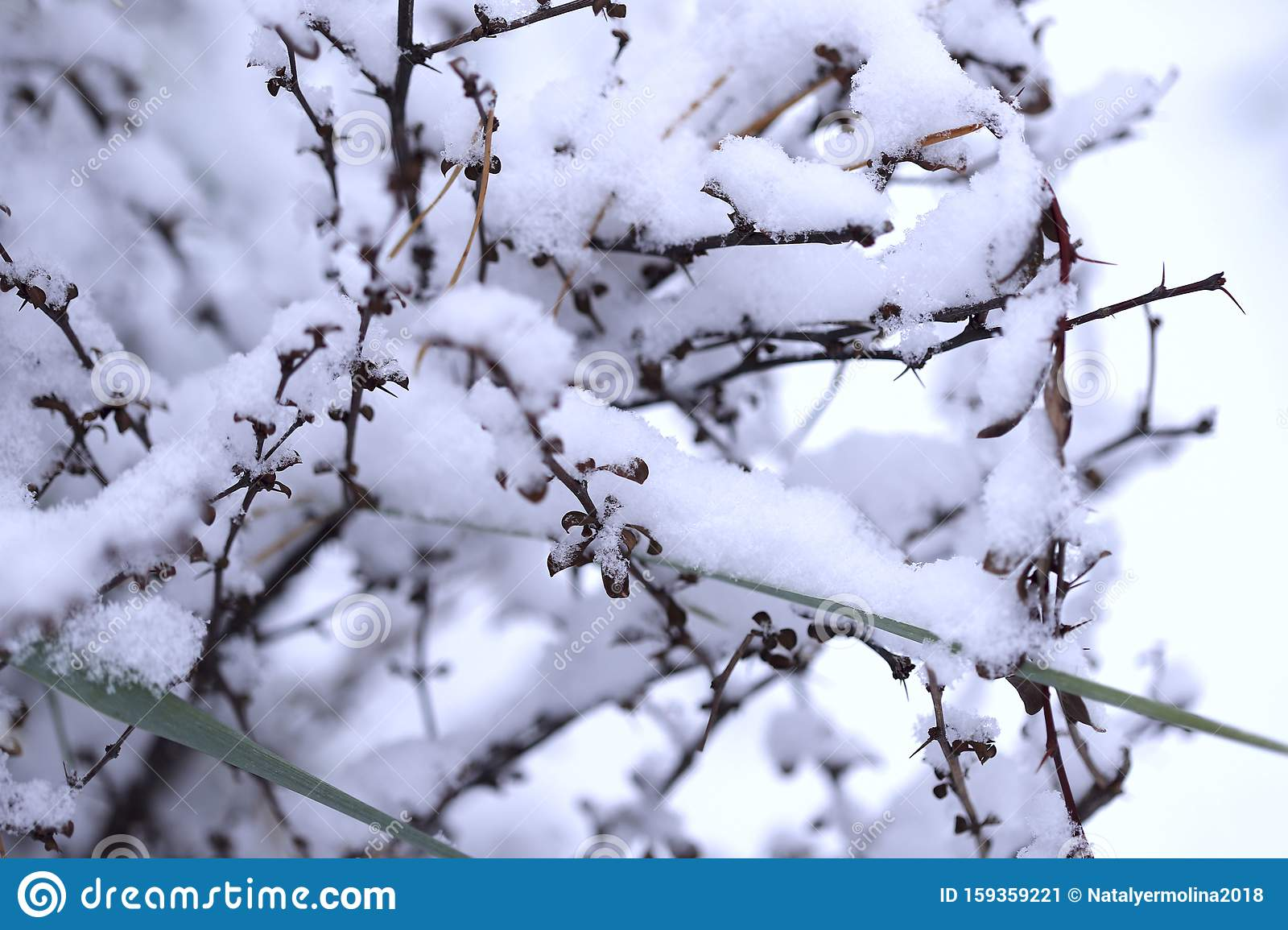 Winter Nature Background Shrub With Red Berries Covered In Snow