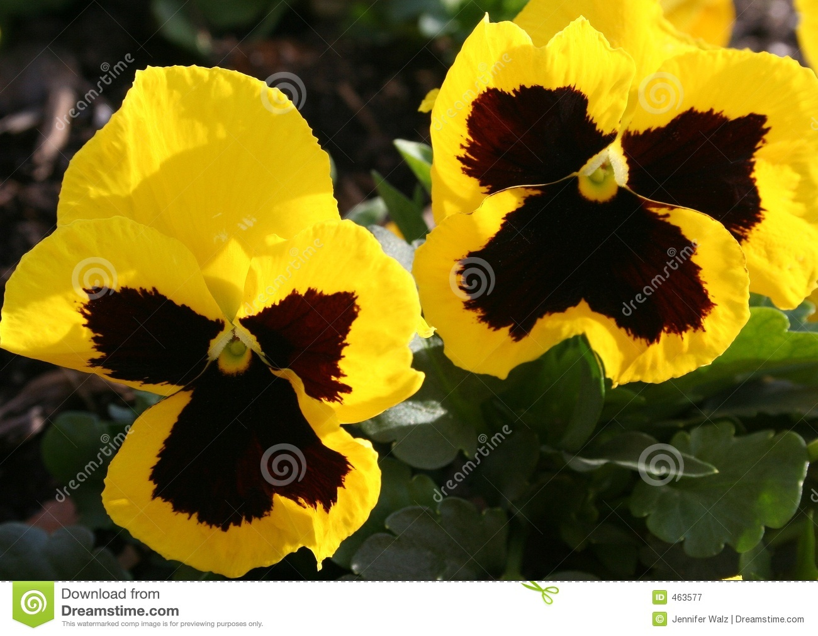 Download Winter Pansies stock image. Image of bloom, american, green - 463577