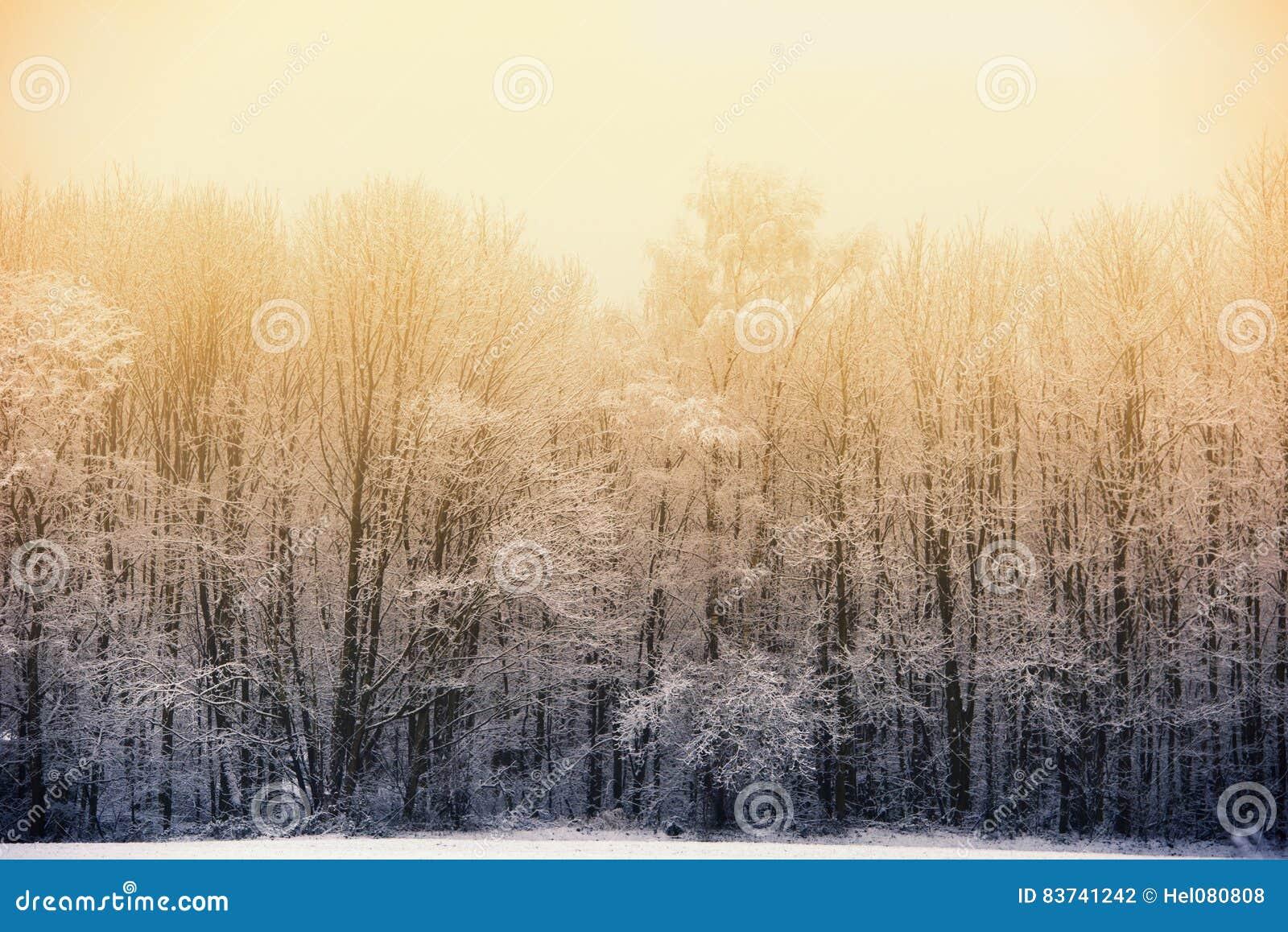 Winter phenomenon: Evening sun behind foggy winter forest