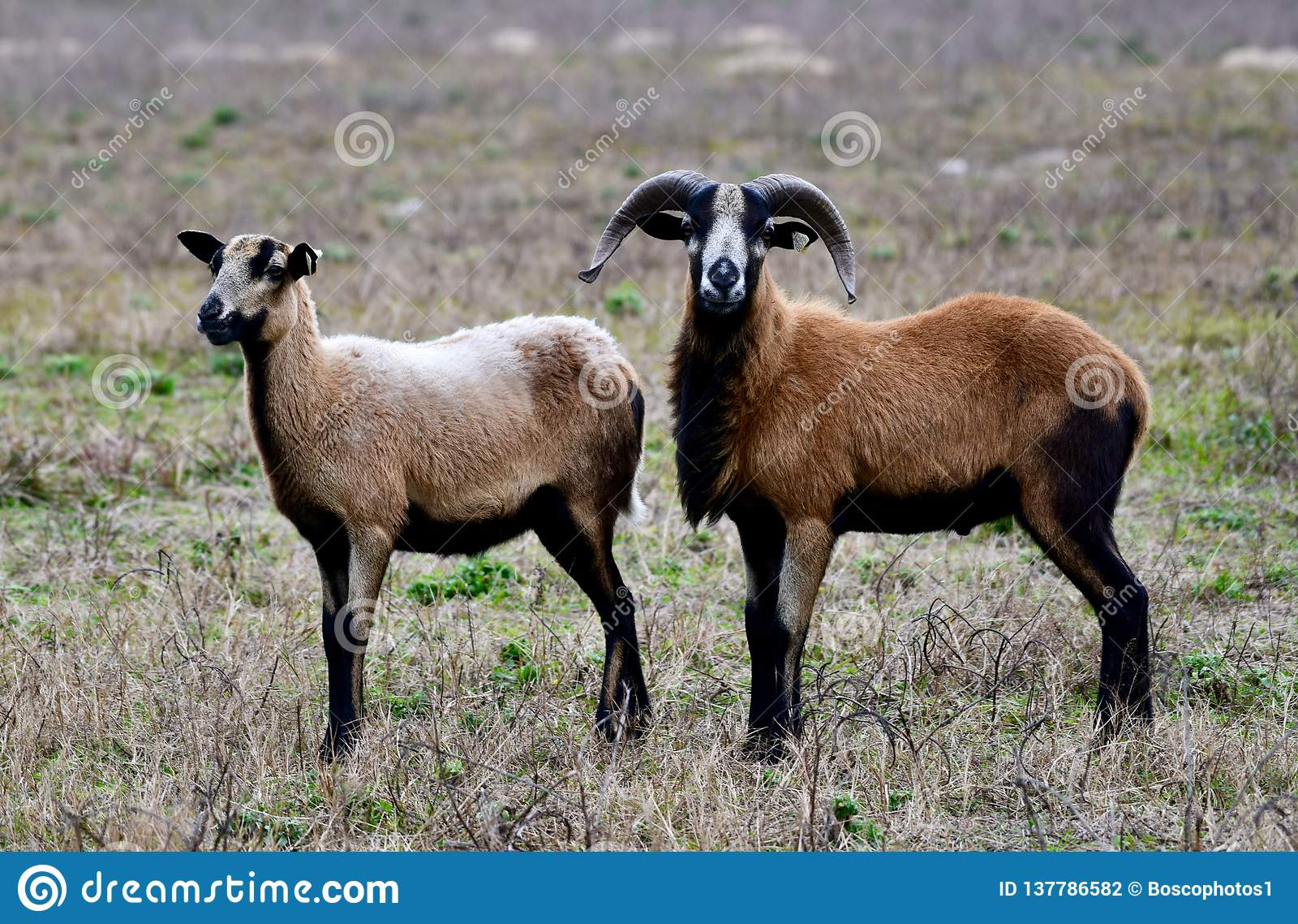 Portrait of a Ram Barbados Black Belly Sheep