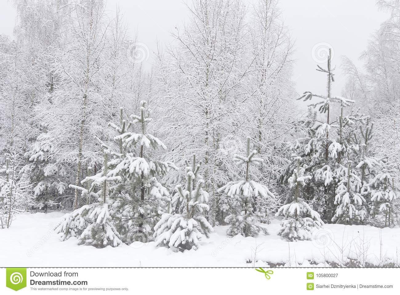 winter in pine forest snowy christmas trees natural scenery winter