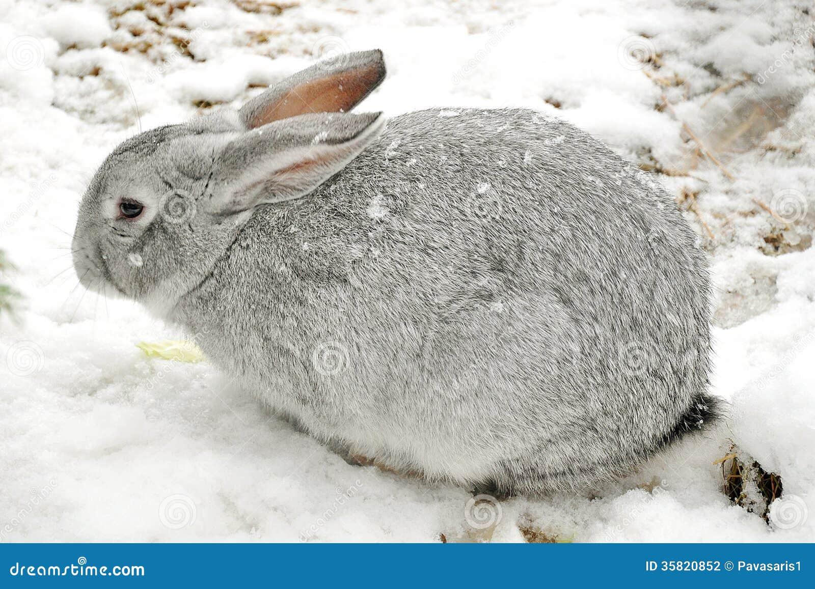 winter rabbit stock photography image 35820852. Black Bedroom Furniture Sets. Home Design Ideas