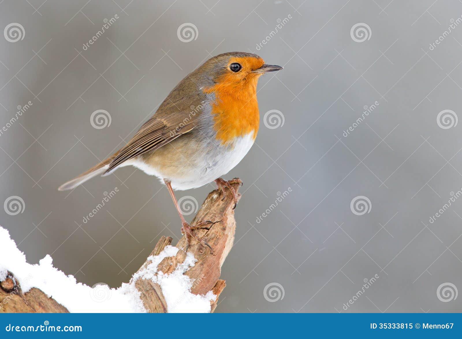 Winter Robin bird