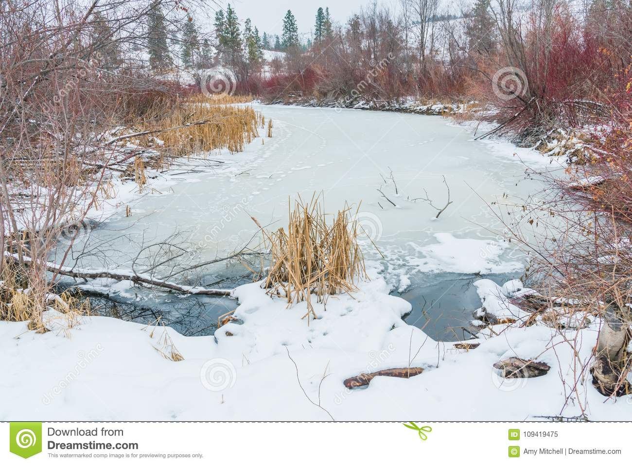 Winter landscape of frozen marsh with reeds and willows