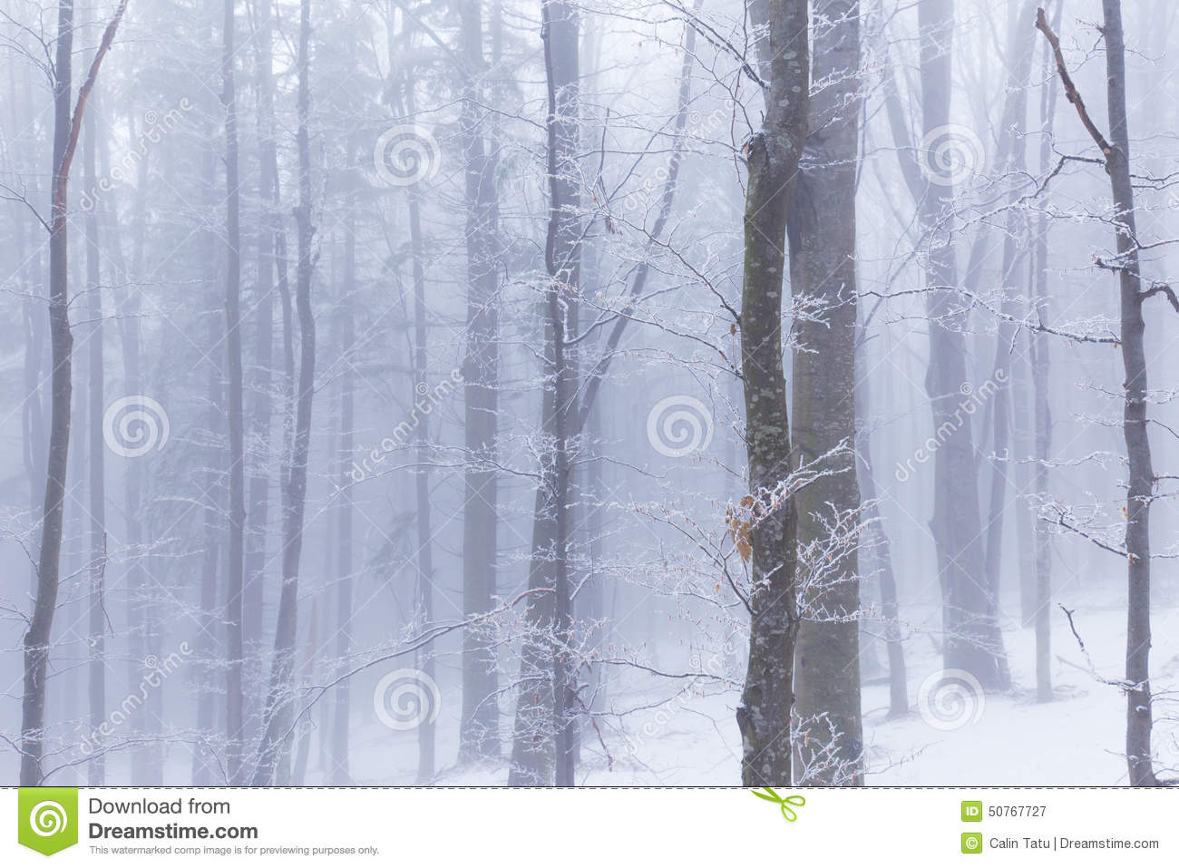 Birch trees in the winter stock photo image 2170700 - Winter Scenery In The Forest With Birch Trees And Fog Royalty Free Stock Photography