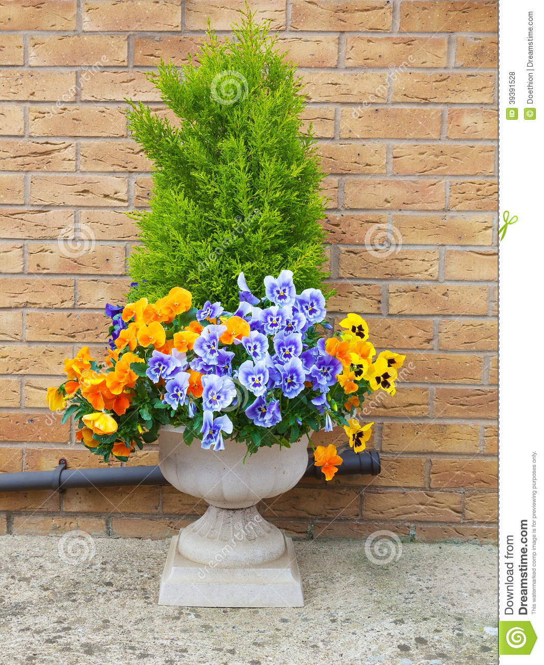 Winter And Spring Pansies And Evergreen Shrub In C Stock
