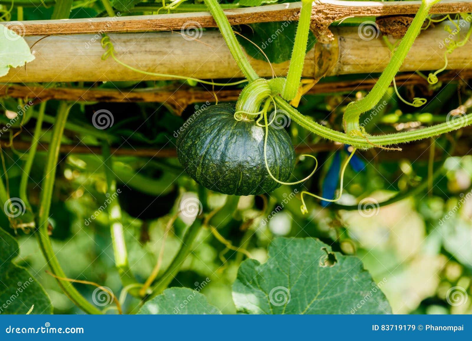 Winter Squash, Or Pumpkin On Its Tree. Stock Photo