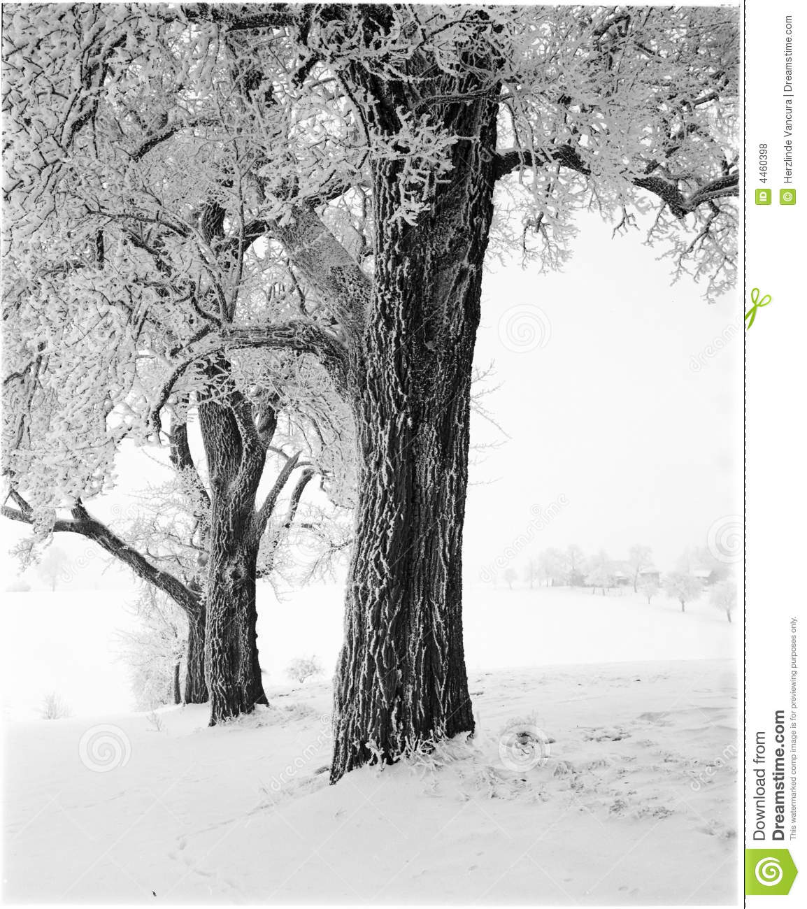 Some tall apple trees covered with snow winter landscape