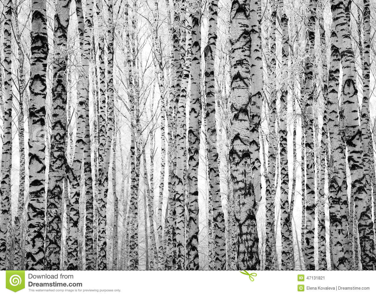 Winter trunks birch trees stock photo image 47131821