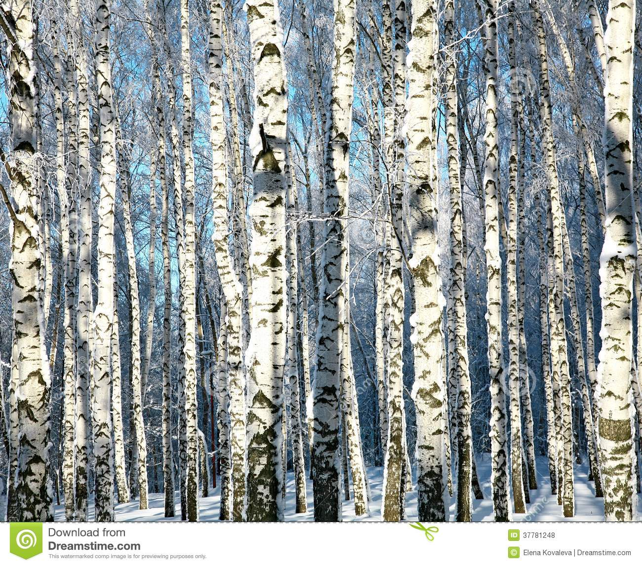 Winter trunks of birch trees in sunlight royalty free stock photos