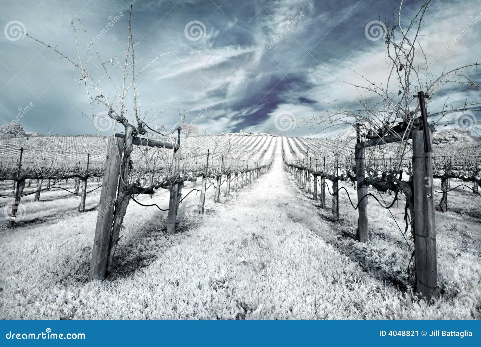 Winter Vineyard in Infrared