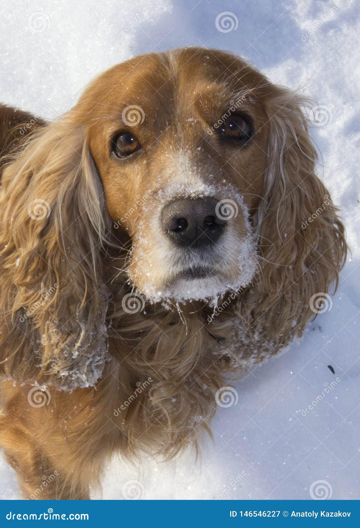 Winter walk with Spaniel