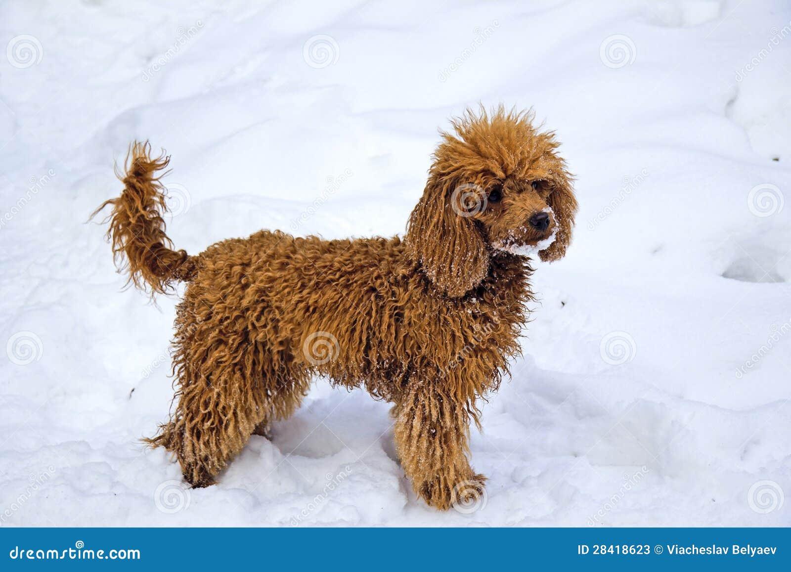 Z Poodles Winter. Walking Red Mi...