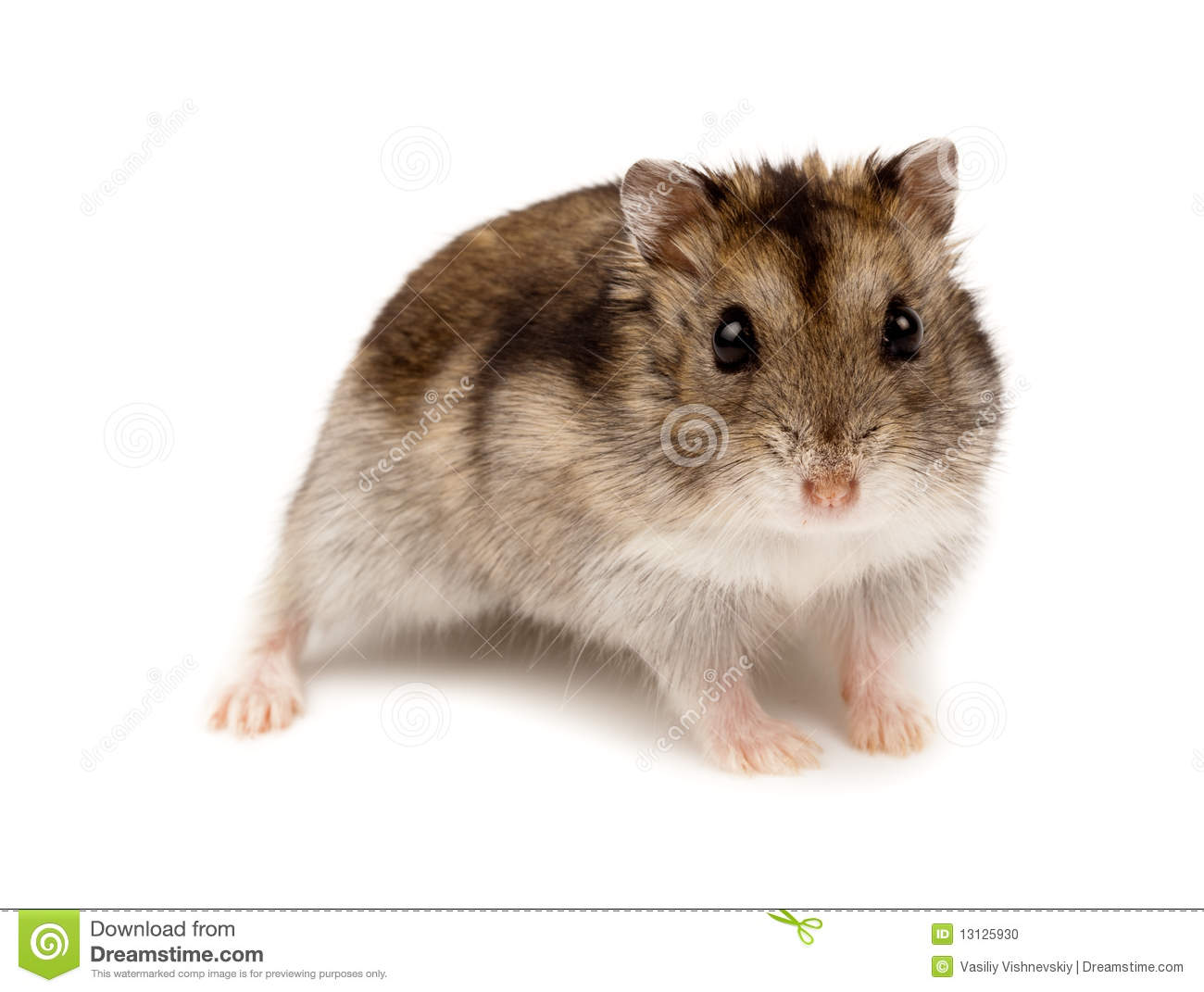 winter white russian dwarf hamster stock photo image of