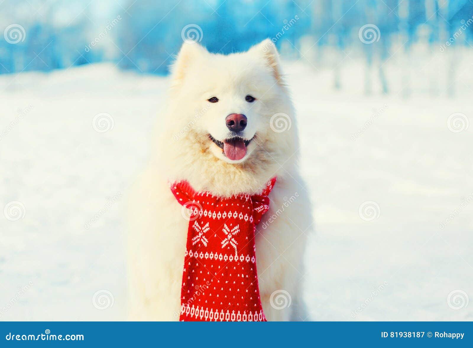 b17ea87feb0 Winter White Samoyed Dog In Scarf On Snow Stock Image - Image of ...