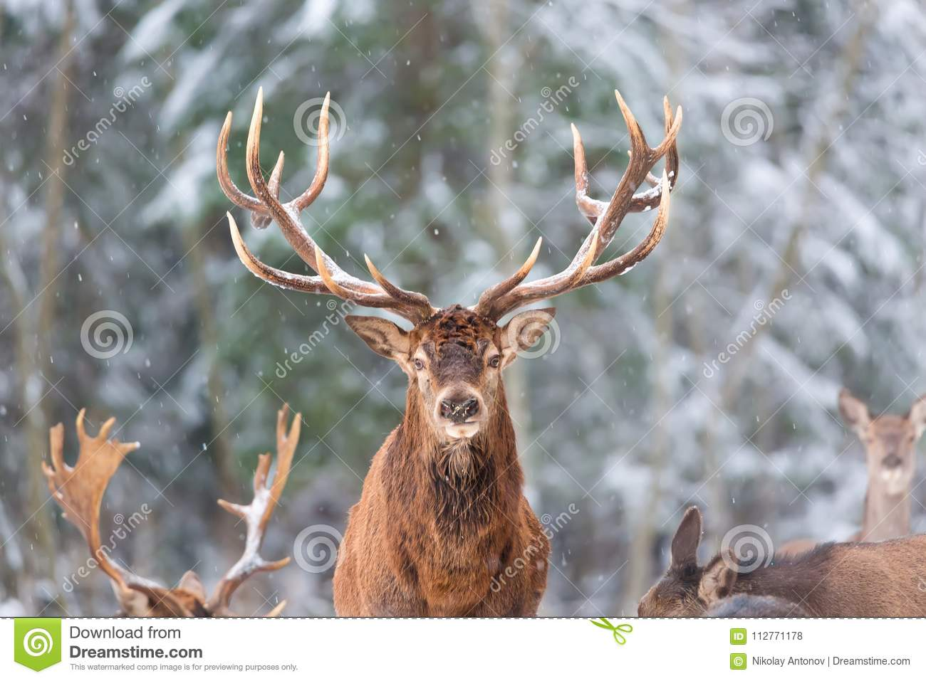 Winter wildlife landscape with noble deers Cervus Elaphus. Deer with large Horns with snow on the foreground and looking at camera