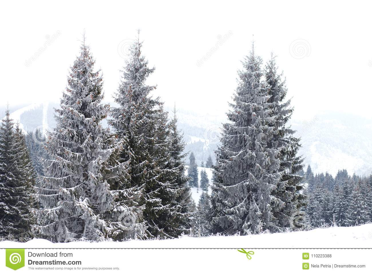 Winter Wonderland landscape, snowy fir tree background