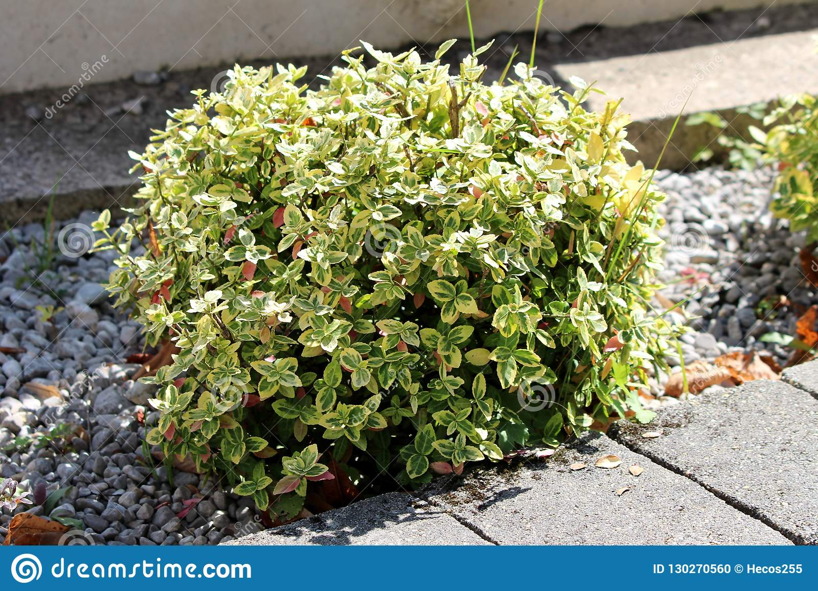 Wintercreeper or Euonymus fortunei evergreen shrub plant with green to yellow leaves growing as bush next to stone tiles sidewalk