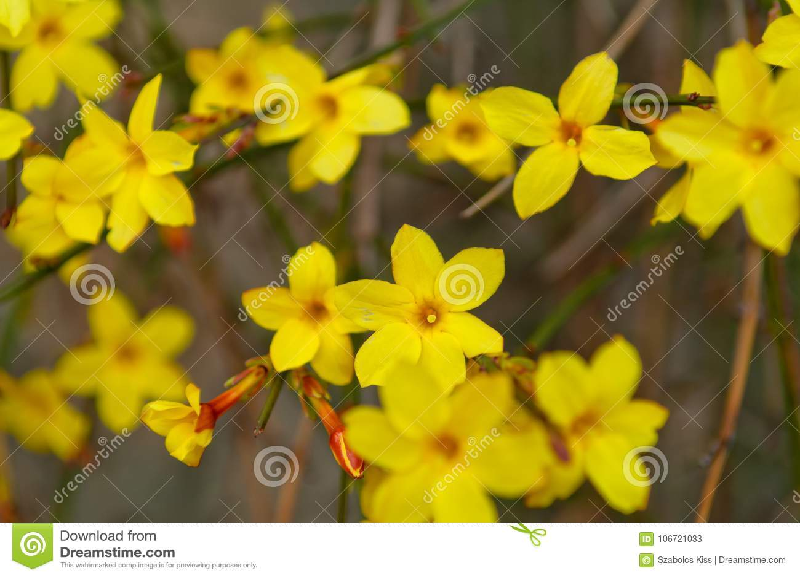 Winterjasmin Jasminum nudiflorum Gelbblume