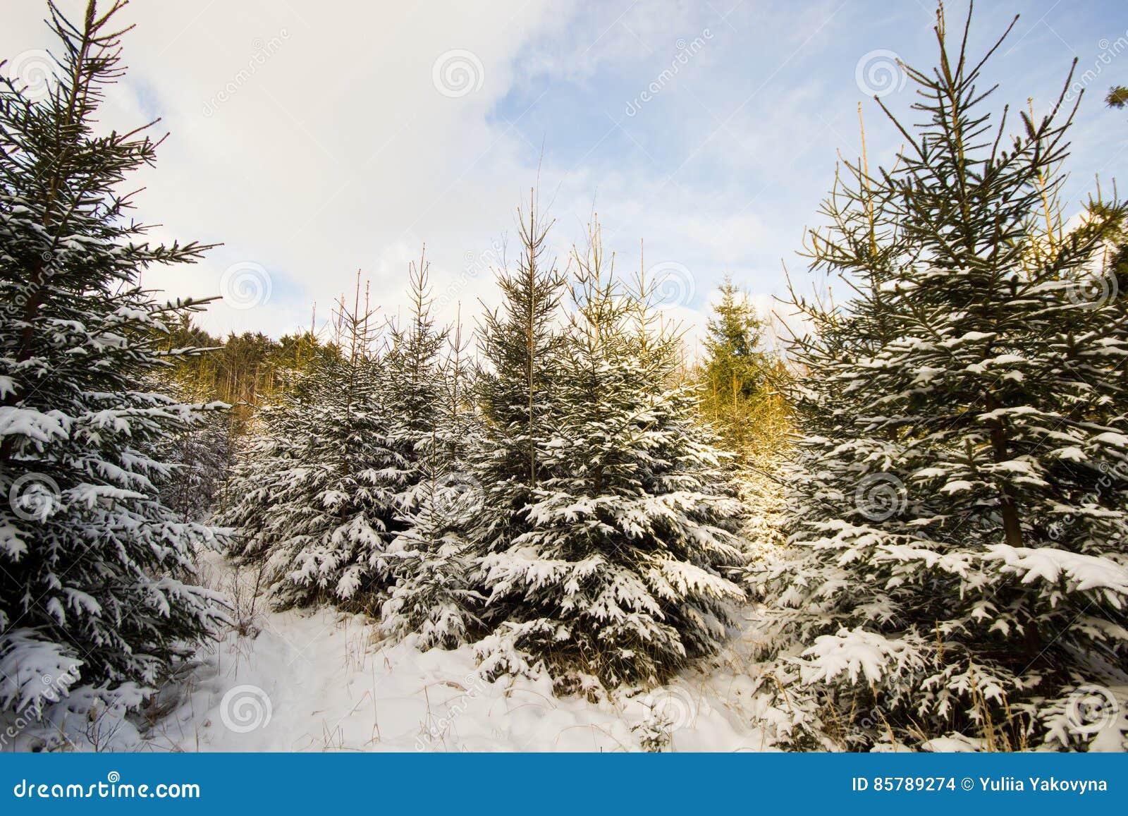 Winterlandschaft im Wald mit den Bäumen bedeckt mit Weiß
