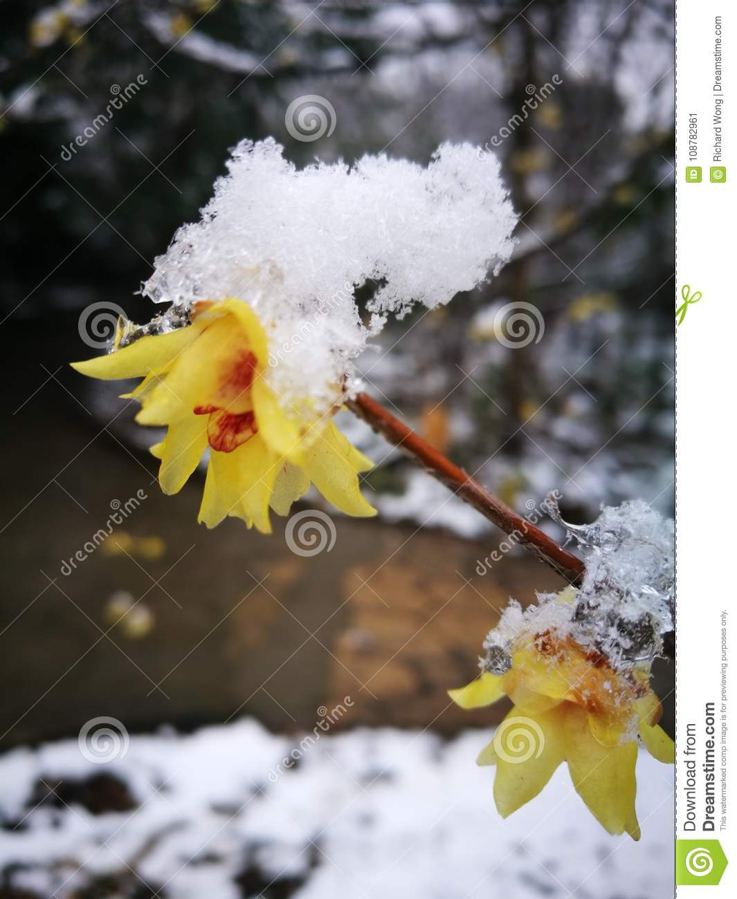 Wintersweet blossombing in the snow day