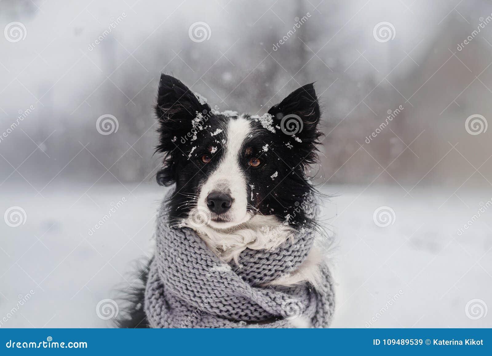 Winterwelpen-Märchenporträt eines border collie-Hundes im Schnee