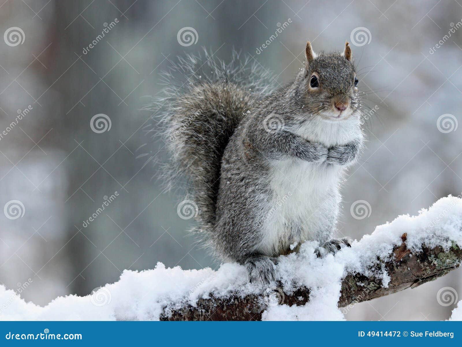 Download Winterzeit-Eichhörnchen stockfoto. Bild von stehen, glücklich - 49414472