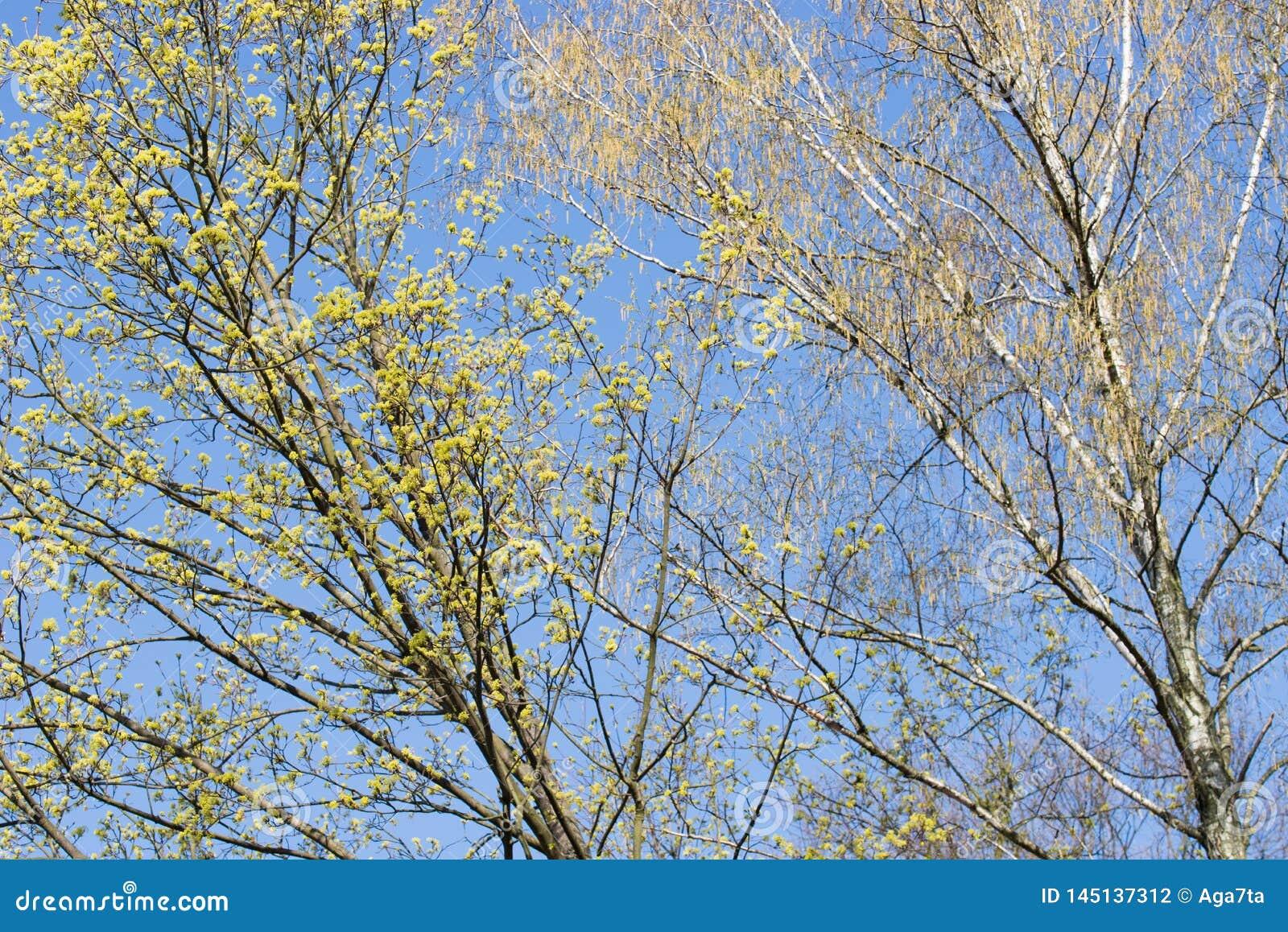 Wiosen kwitnące gałąź klon i brzoza z kwiatami na niebieskiego nieba tle
