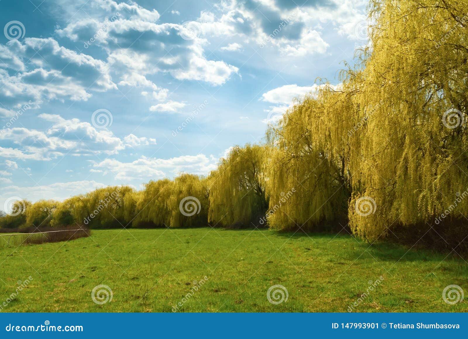 Wiosen płacze wierzbowi drzewa w parku t?o mleczy spring pe?ne meadow ?