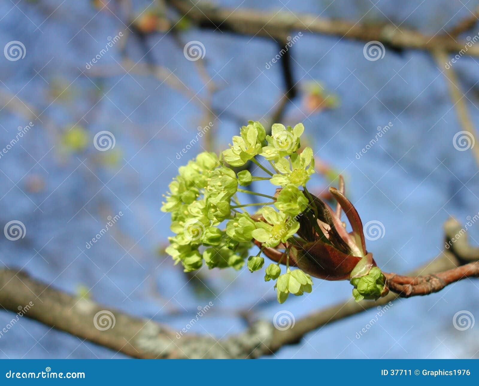 Wiosenne kwiaty drzewa klonowego