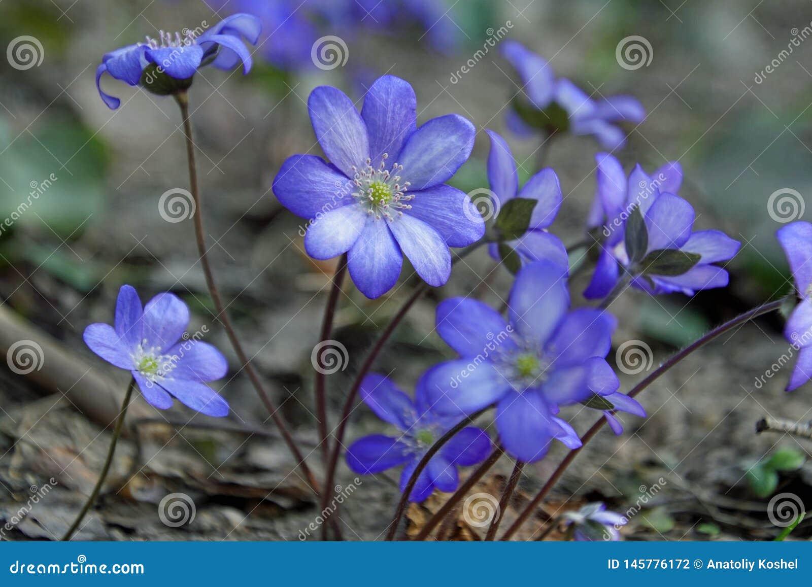 Wiosna fartuch Pierwiosnkowi kwiaty B??kitni pi?kni kwiaty