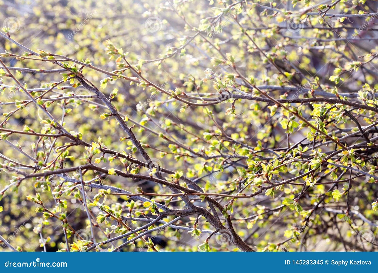 Wiosna jasnozieloni liście na gałąź deseniowym widoku