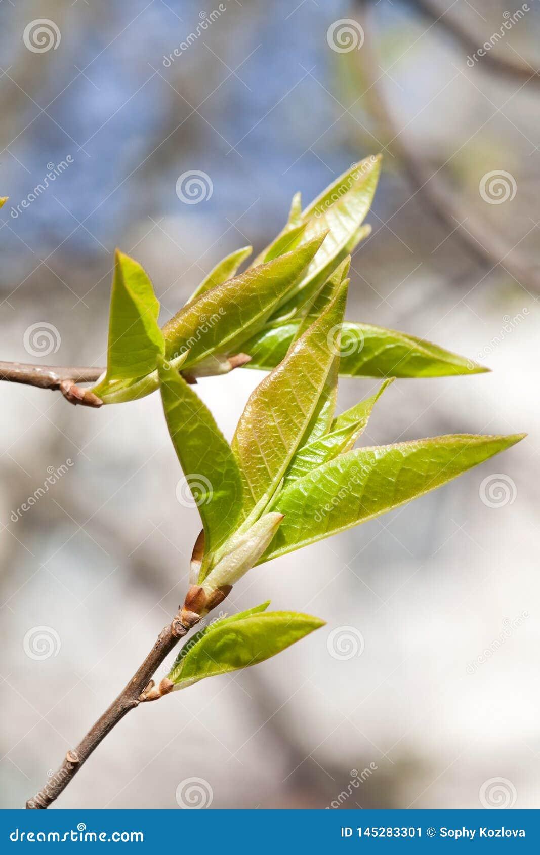 Wiosna jasnozieloni liście na gałąź zbliżenia widoku