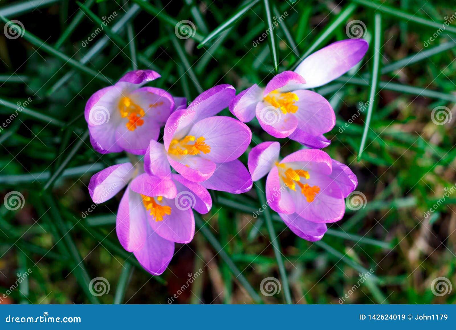 Wiosna krokusa purpurowy kwiat