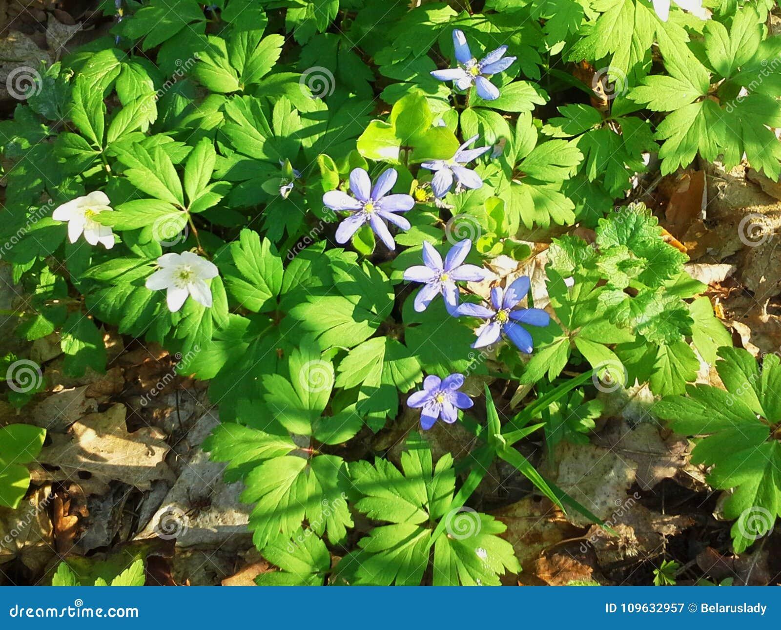 Wiosna kwiaty, biały anemon i błękitna porostnica, Hepatica nobilis