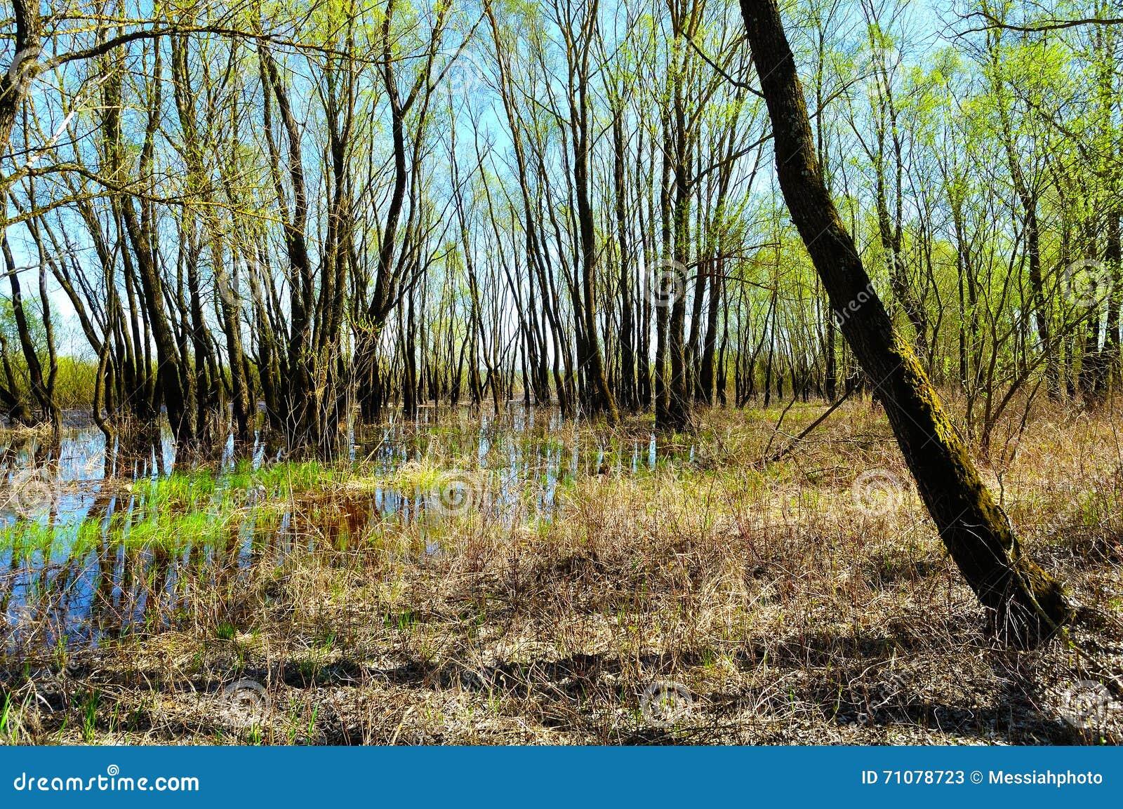 Wiosna lasu krajobraz - riparian lasowi drzewa zalewający z przelewać się wodę rzeczną w pogodnej wiośnie wietrzeją