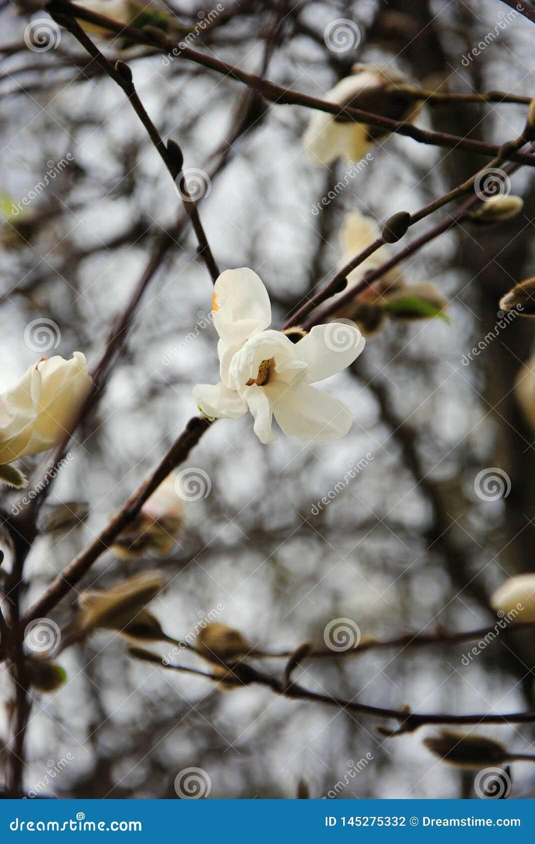 Wiosna pierwszy kwiatonośni drzewa