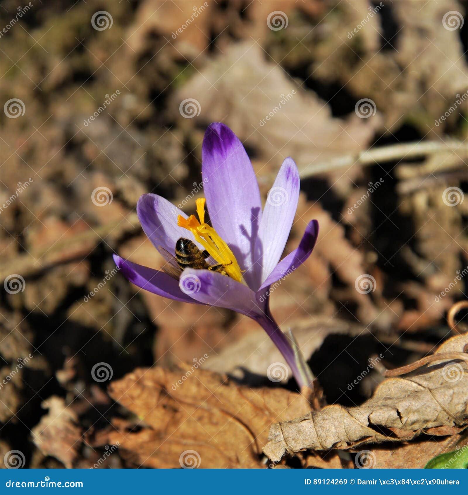 WIOSNA: Pszczoły, szafran i krokus/