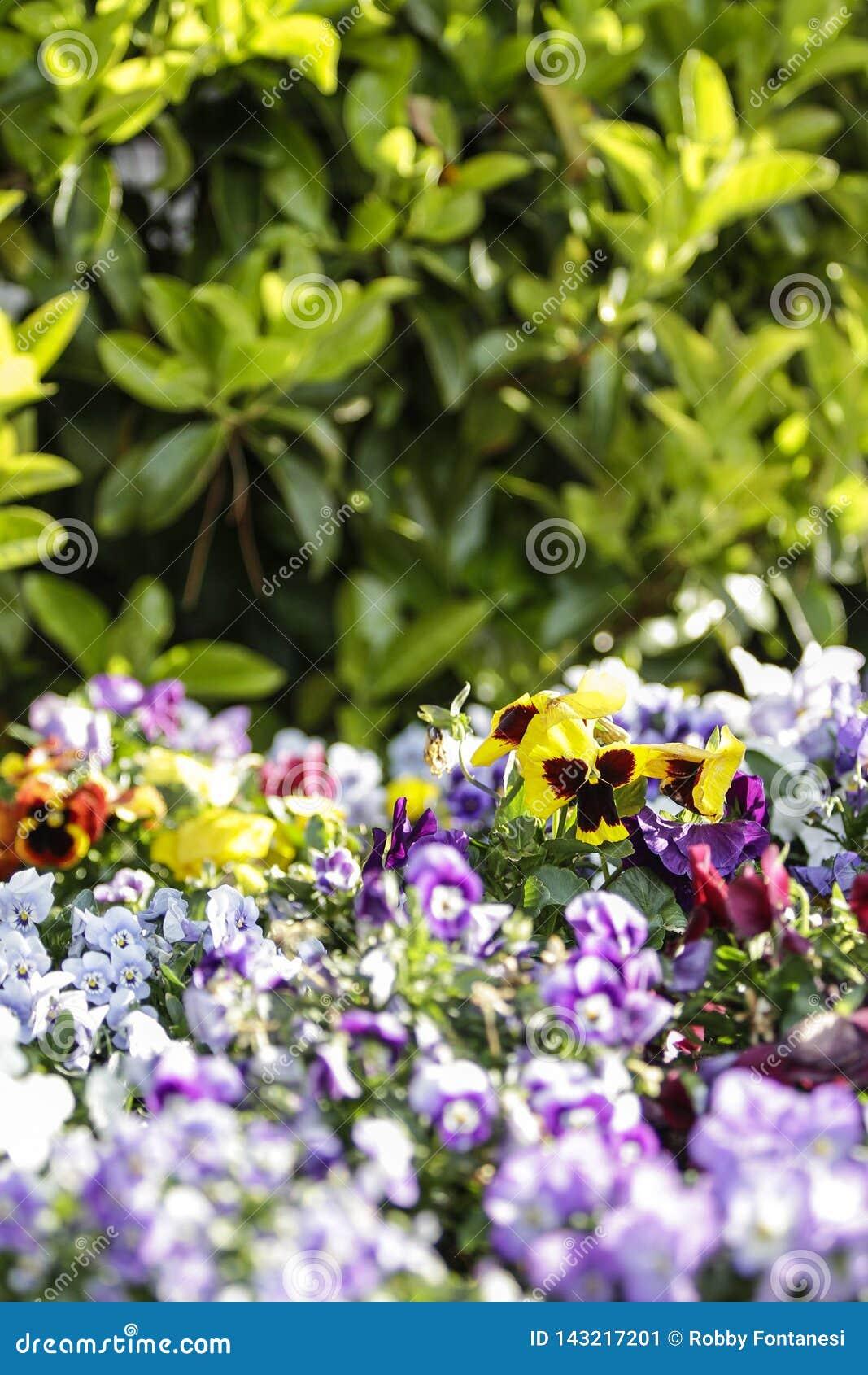 Wiosna: purpurowy i żółty pierwiosnek w selekcyjnej ostrości wśród grupy mieszani barwioni kwiaty w bokeh