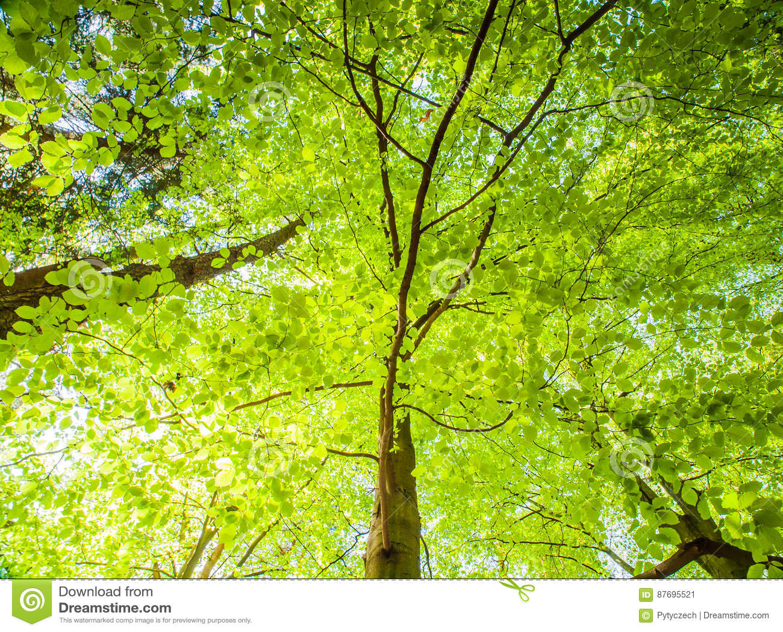 Wiosna w lasowym Dolnego widoku drzewie z luksusowy jaskrawym - zieleń liście iluminujący słońcem Naturalnego tła tapeta