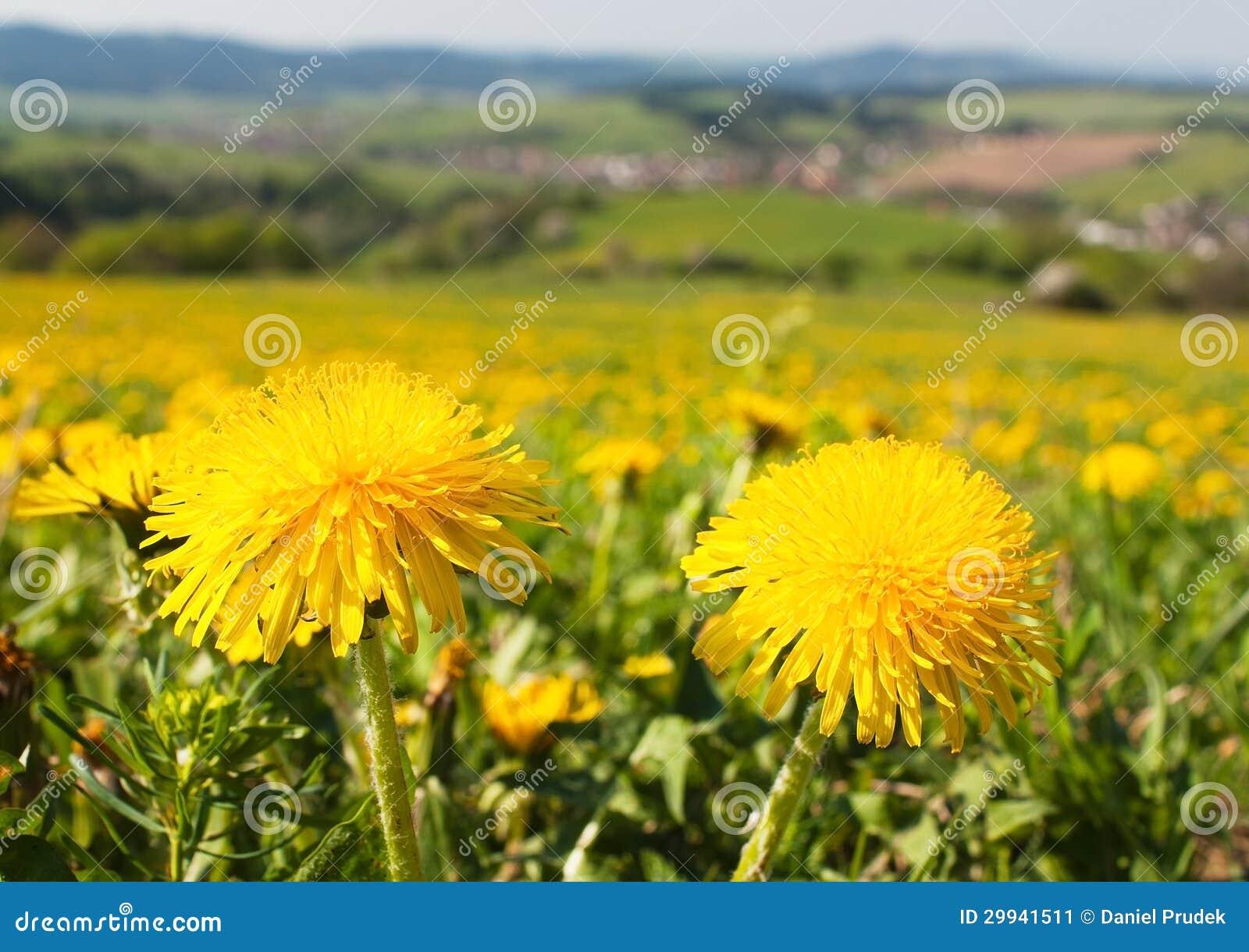 Wiosny łąka z pospolitym dandelion i czas