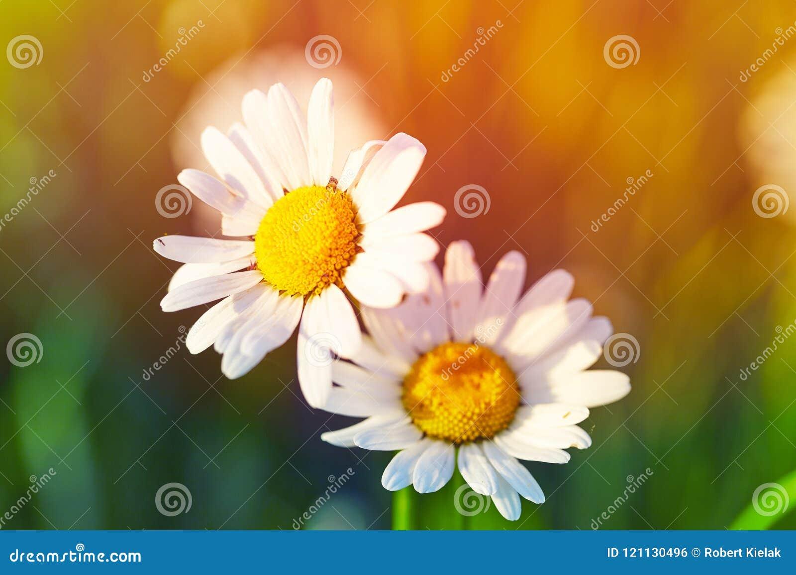 Wiosny łąkowy słońce - rumianek Zakończenie
