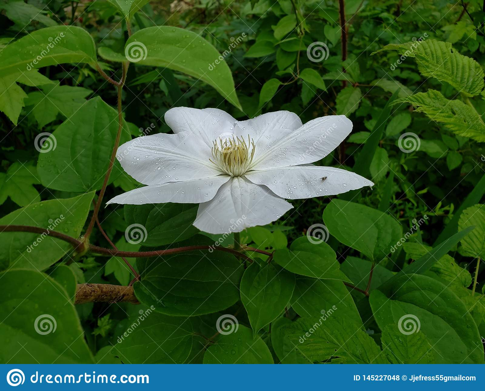 Wiosny Clematis