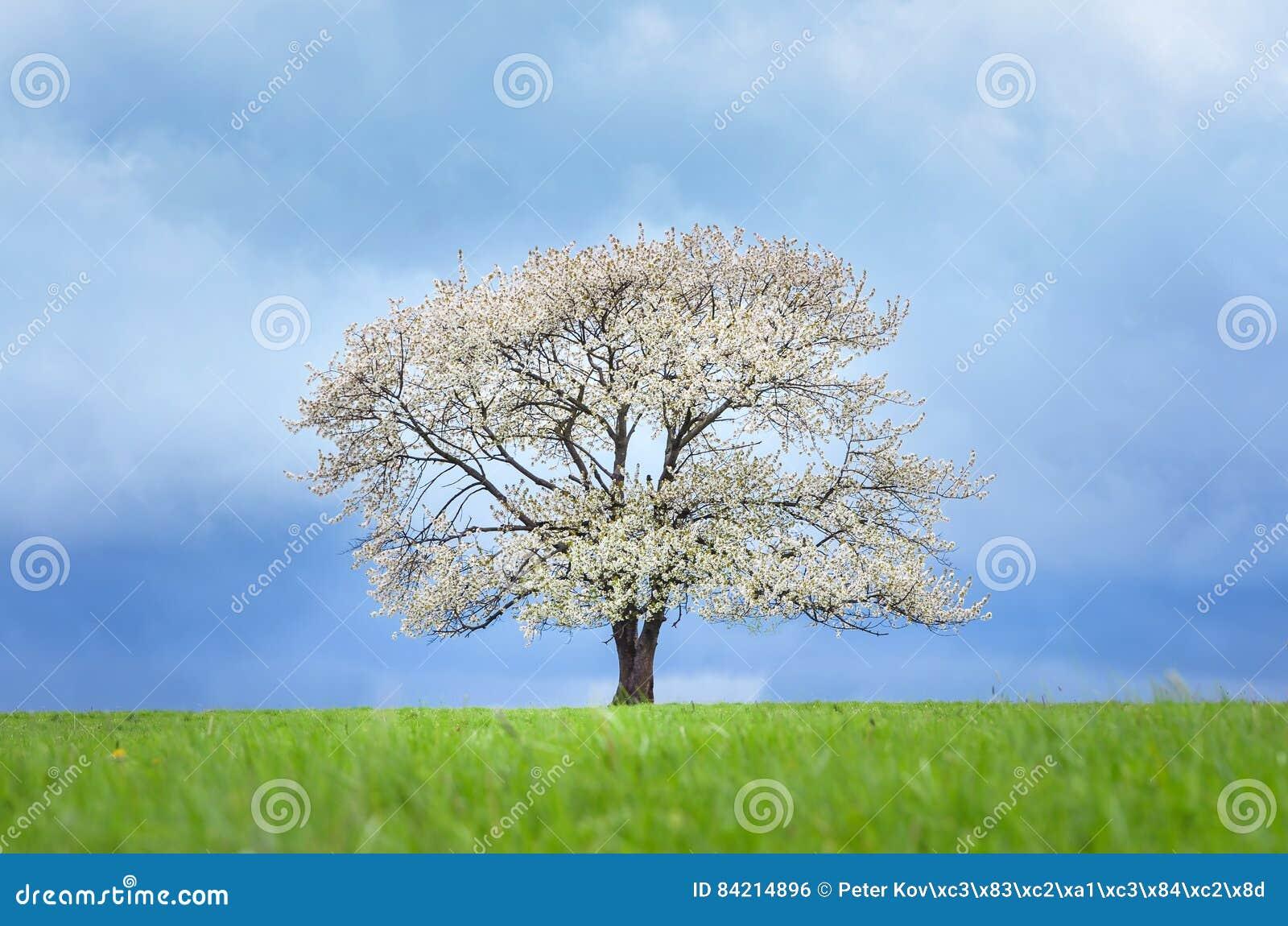 Wiosny czereśniowy drzewo w okwitnięciu na zielonej łące pod niebieskim niebem Tapeta w miękkiej części, neutralny barwi z przest