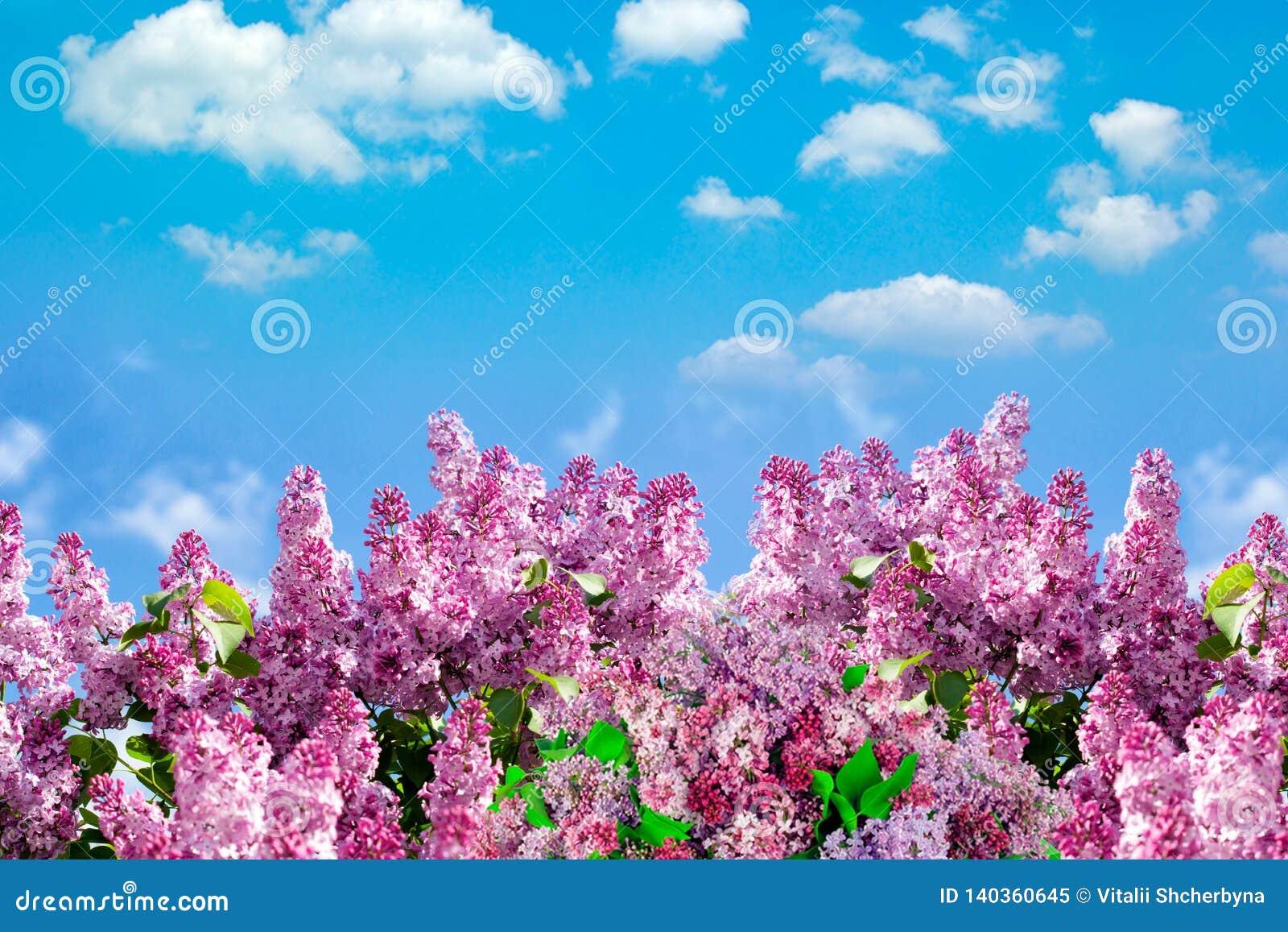 Wiosny gałąź kwitnąć bzu z motylem Natury wiosny tło z światłem słonecznym Przestrzeń dla teksta Niebieskie niebo przy słonecznym