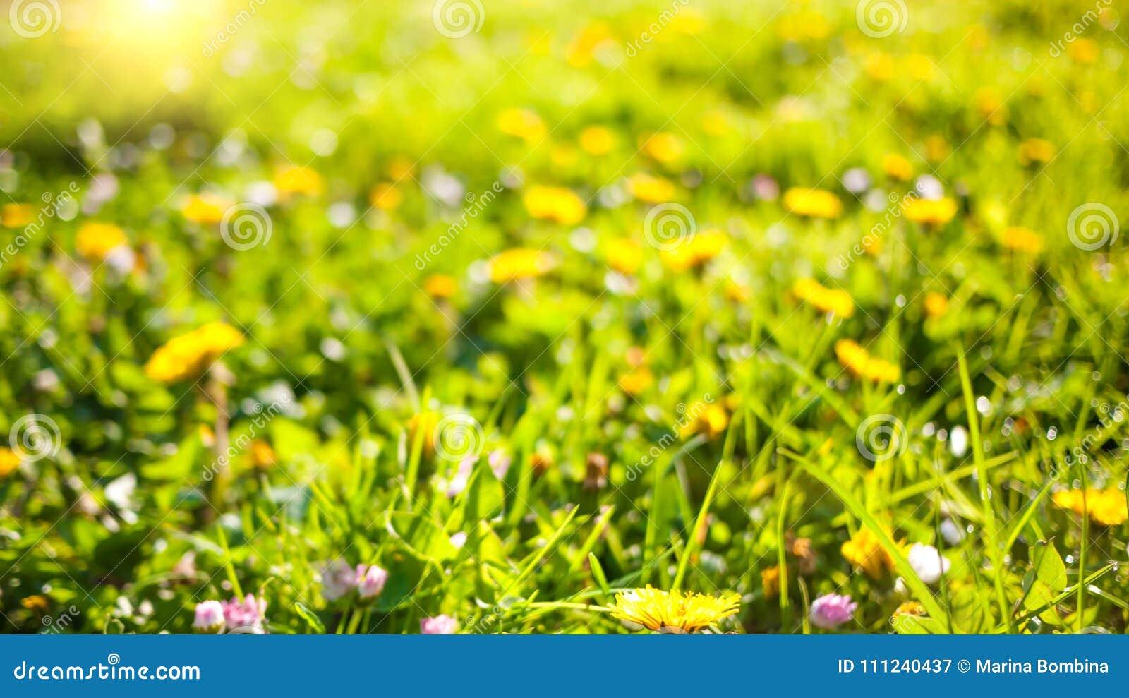 Wiosny natury tło z dandelions w zielonej trawie