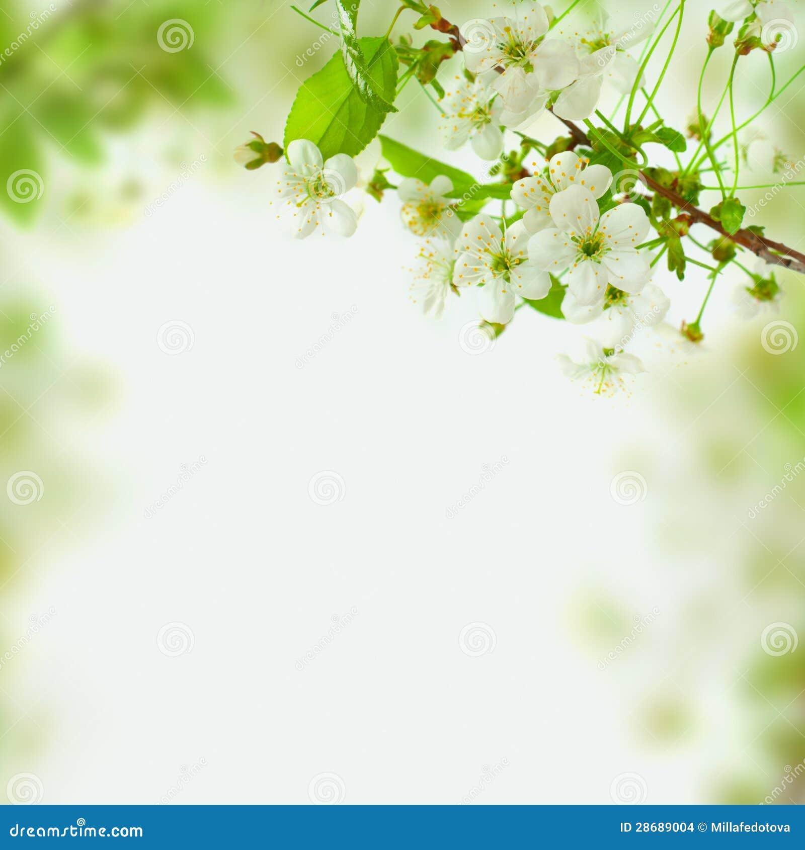 Wiosny okwitnięcia tło, zieleń liście i biali kwiaty,