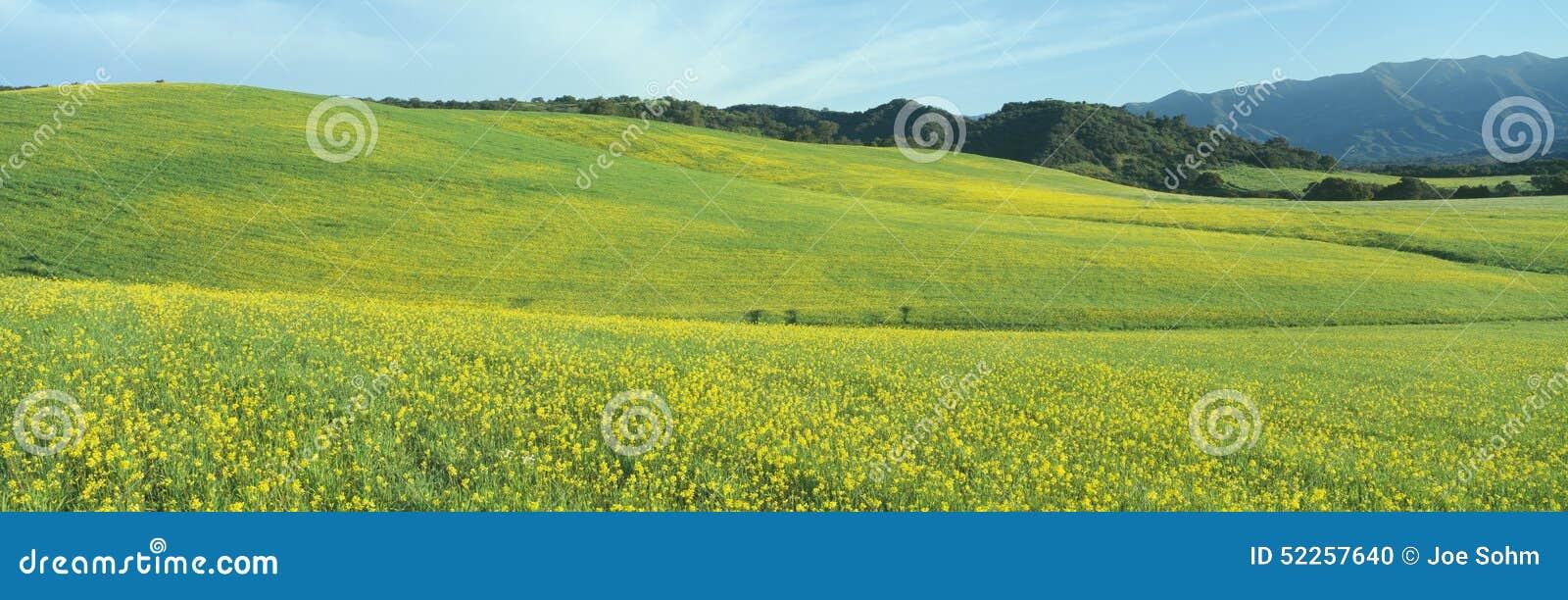 Wiosny pole, musztardy ziarno blisko Jeziornego Casitas, Kalifornia